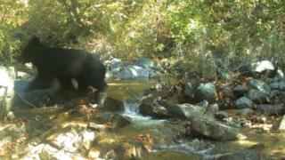 Black Bear in DMZ