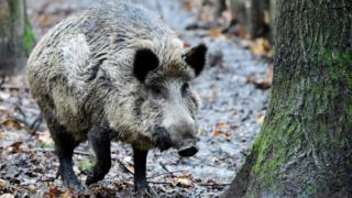 A picture taken on November 28, 2017 shows a wild boar at an enclosure set up by forest rangers in a northwestern district of Berlin