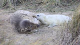 Mother and seal pup feeding at Horsey beach, Norfolk