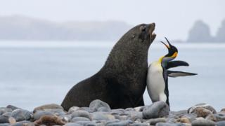 Fur seal and king penguin chest bumping