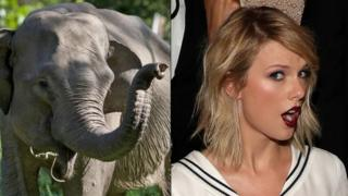 Elephant in cross-section image with Taylor Swift