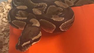 Royal python found at Radipole Lake in Weymouth