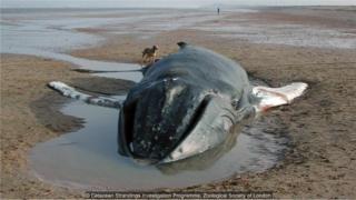 Baleia morta