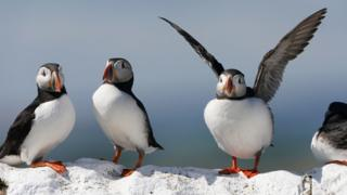 Four puffins on the Farne Islands