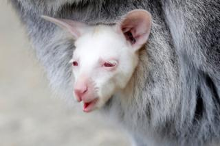 A newborn albino red-necked wallaby is carried by its mother in their enclosure at the zoo in Decin, Czech Republic