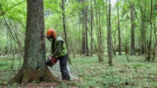 Logging in Bialowieza forest