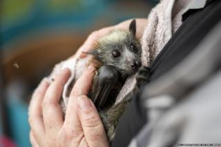 Bat rescuer, carer and founder of Fly-by-night bat clinic, Tamsyn Hogarth, comforts a young rescued Grey-headed Flying Fox