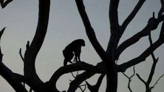 Silueta de un chimpancé