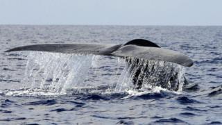 نهنگ آبی