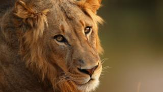 A lion relaxes in Kruger National Park, South Africa