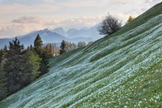 A green slope covered in white flowers with a mountain range in the background