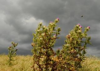 A bee pollinating thistles on a stormy day