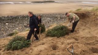 The volunteers planting the discarded Christmas trees at Barkby Beach, Prestatyn