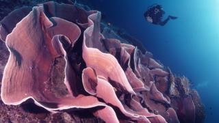 Kipas besar laut di perairan Taman Nasional Wakatobi.