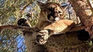 Dağ aslanı, 15 metre yükseklikteki ağaç dalına çıktı.