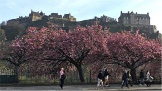 The cherry blossom in Princes Street on Good Friday, taken by Linda Taylor