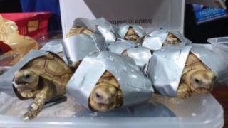 Reptil ini ditemukan di dalam koper yang ditinggal pemiliknya, masing-masing dilakban.