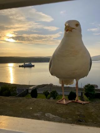 Rothesay gull