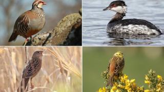 Top left, red-legged partridge; top right Slavonian Grebe; bottom left Grasshopper warbler; bottom right yellow hammer