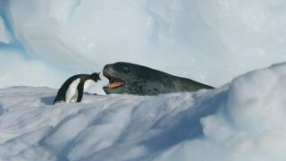 A gentoo penguin and a leopard seal