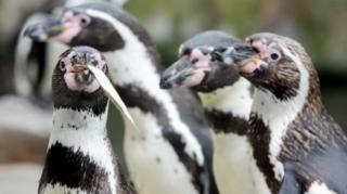 Пінгвіни Гумбольдта