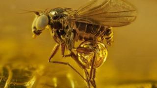 amber, serangga