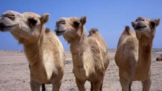 Camels (Mark Payne-Gill/NPL)