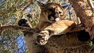A cougar resting on a branch about 50ft above the ground in San Bernardino, California