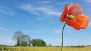 Poppy in Middle Barton