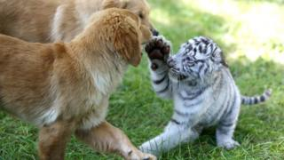 Tiger puts paw up to two golden retriever puppies