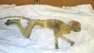 The mummified monkey