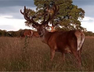 A red deer in a field
