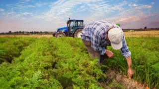 Farmer pulls out carrots