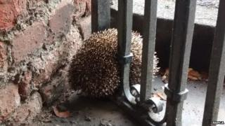Hedgehog stuck in railings