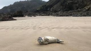 Seal on Monkstone Point beach