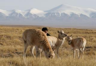 A forest policeman of Kekexili Nature Reserve pastures Tibetan antelopes at a wild animal rescue centre on 21 April 2005 in Chengduo County of Qinghai Province, China