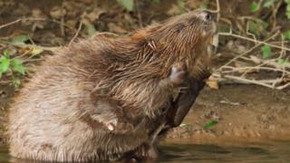 female-beaver-in-river-otter.