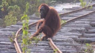 Природне середовище проживання орангутанів