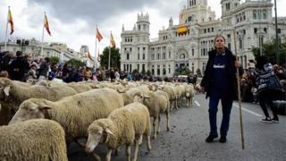 Flocks of sheep are herded in front of the city hall in Madrid