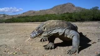 มังกรโคโมโดเป็นสัตว์เลื้อยคลานจำพวกตุ๊กแกที่มีขนาดใหญ่ที่สุดในโลก