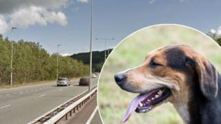 A foxhound and the relevant stretch of the A55