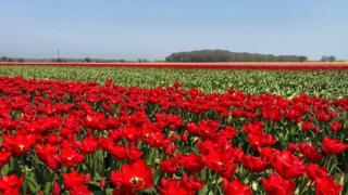 Field of red tulips in west Norfolk