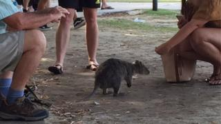 Tourists take pictures of a quokka on Rottnest Island