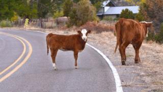 अमेरिकेतील गाय