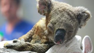 A badly burnt koala receives treatment at at Port Macquarie Koala Hospital ion 19 November