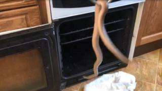 Sammy the snake rescued from the oven