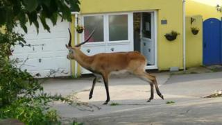 Lechwe antelope on the loose in Paignton