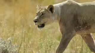 File pic of lion in South Africa