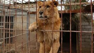 An abandoned lion is seen in a cage at Muntazah al-Nour zoo in Mosul as the international animal welfare charity 'Four Paws' tries to evacuate the animals left at the zoo to Arbil on 28 March 2017.