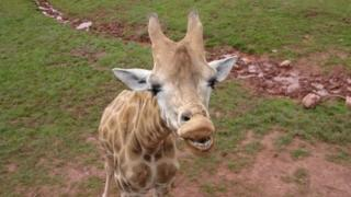 Giraffe from aerial walkway